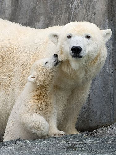 baby polar bear nibbles on mom ... Wilbär 1