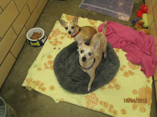 #OHIO #URGENT #BondedPair ~ Maggie & Dino are #senior Chi's ...These poor little dogs are heartbroken as their family moved away & they don't understand why they were left behind.  They're very bonded & a little shy, tho are nice companions in need of a loving #adopter / #rescue at TUSCARAWAS COUNTY DOG POUND 1751 Tech Park Drive NE #NewPhiladelphia OH 44663 Ph 330-339-2616