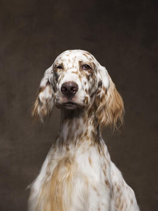 English setter in the studio. feature: Dogs // Robert Clark - instituteartist.com