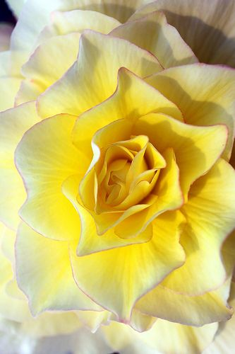 Yellow Begonia  ~  ? the look!