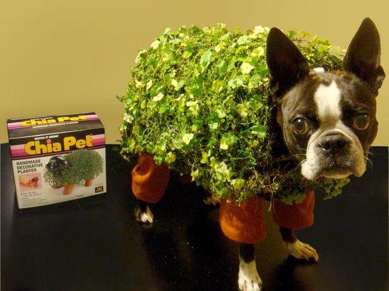 Ummm... I have my pet's halloween costume for this year picked! #bostonterrior #halloweencostume #pets