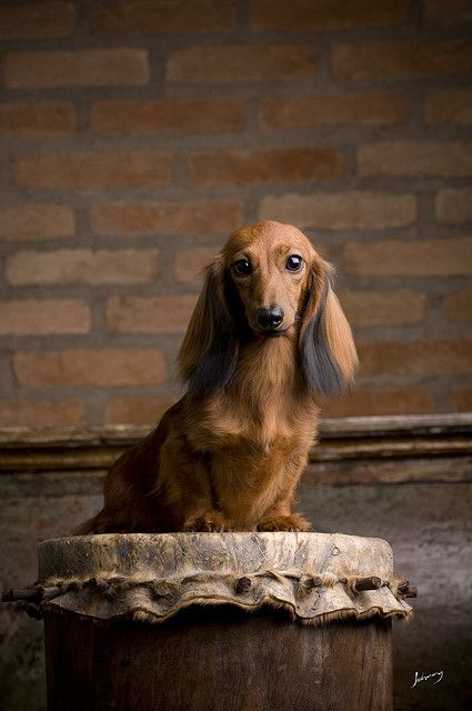 .formal doxie portrait.