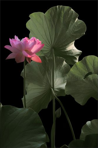Pink Lotus Flower and Leaves