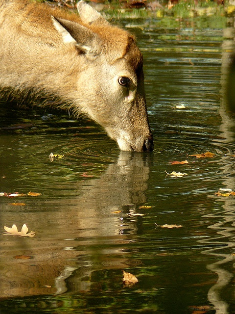 Reflection of a deer drinking in the pond  2nd place winner - Planet Earth Animals/Birds August 2011, Animals around water.     As a photographer I have a passion for reflections.