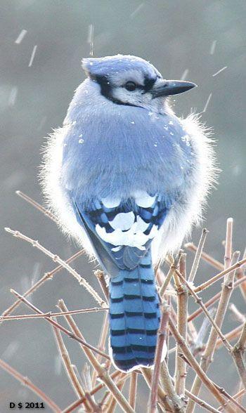 ** Blue bird