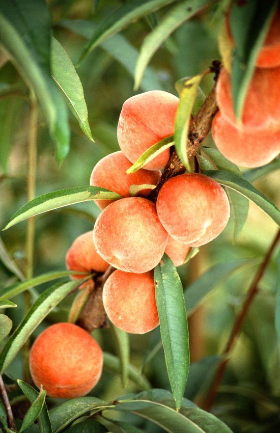 Oooh, I love peaches!