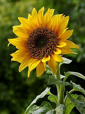 Sunflowers are my new love.