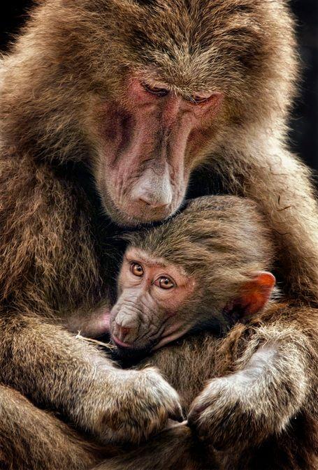 Baboon cuddle #wild #animals