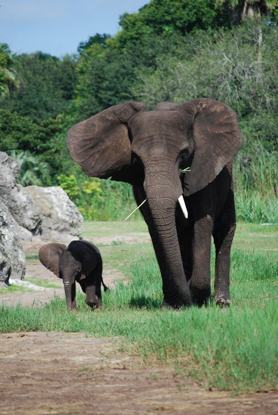 New baby elephant at Disney's Animal Kingdom