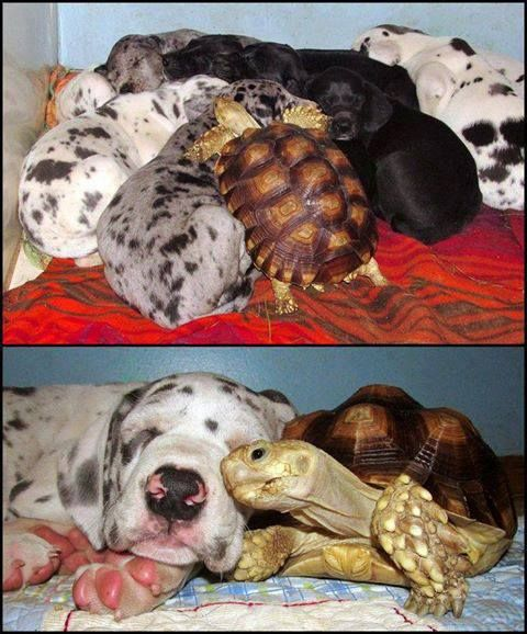 This rescued tortoise was in need of some love. He made pals with these (rescued) dogs, and now they are one big happy family!
