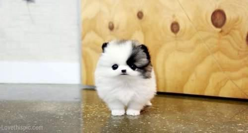 Little Sweetheart animals dog puppy pets little tiny pom pomeranian
