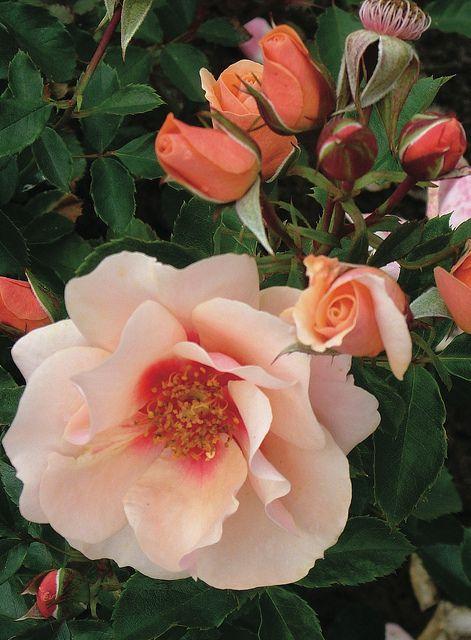 Decorator Rose Sweet Spot™ 'Peach'