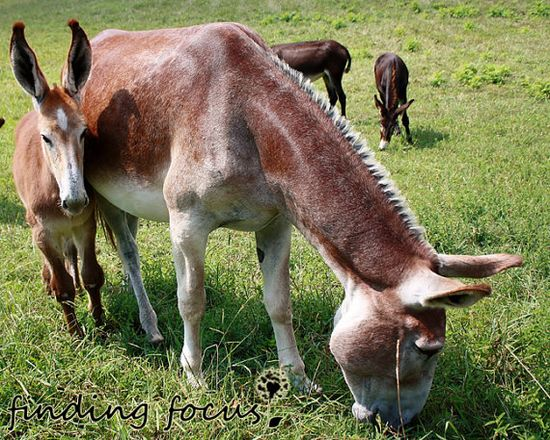 Baby Animal  Young Tan & White Donkey / Mule Stays by findingfocus on etsy.