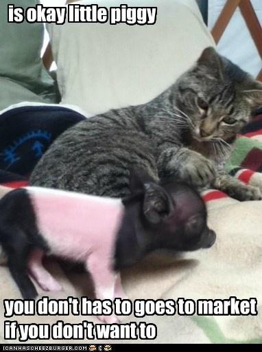 is okay little piggy - Cheezburger