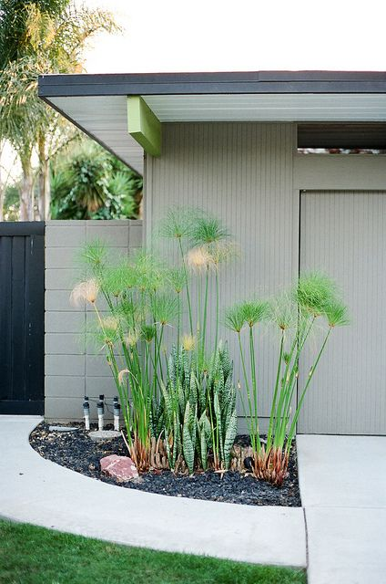 Papyrus in front of Eichler.  photo by Analog Eye