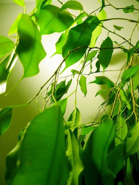 Ficus green green green