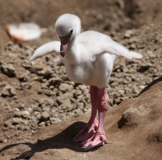 Baby Steps baby flamingo