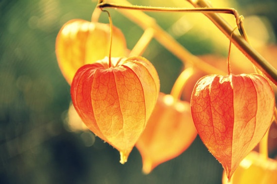 Nature Photography  Chinese Lantern Plant  by IllustriousPeacock, £25.00