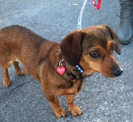 Hillary is an #adoptable Dachshund Dog in #ThousandOaks, #CALIFORNIA. Hello! My name is Hillary and I am aself-assured little female daschund! I have a beautiful red and black fur coat with a happy little waggy...