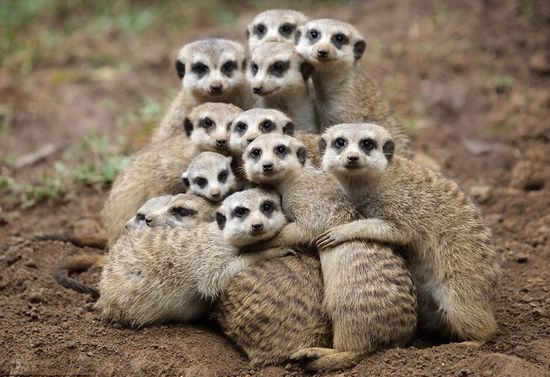 Meerkats - Family photo