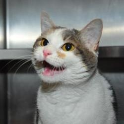 Dory is an adoptable Domestic Short Hair Cat in Richmond, VA. Dory is one sweet and sassy lady who can't to meet her match! She may need some time to adjust to new places but just give her a chance to...