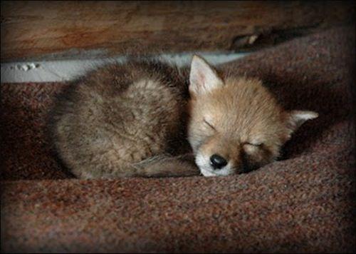 fox baby!