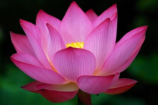 lotus; perfect lighting