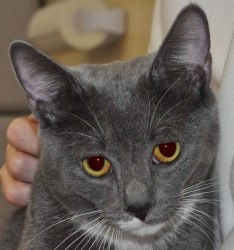 GREYSON is an adoptable Domestic Short Hair - Gray And White Cat in Wantagh, NY. I will let you in on a little secret. I am very camera shy, which made it very hard to get a picture of me for the webs...Last Hope Inc., Wantagh, NY     •631-988-5710