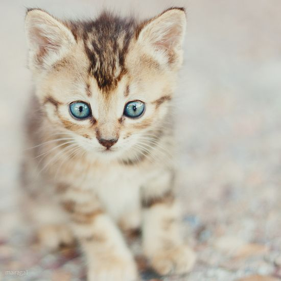 Blue eyes kitty. by maira.gall, via Flickr