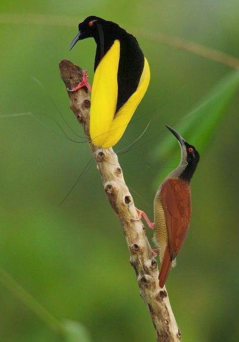 wired bird of paradise