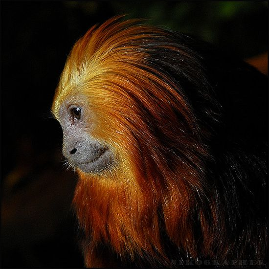"Golden-Headed Lion Tamarin    ""Severely endangered because of habitat loss and illegal capture. There are only about 200 golden-headed lion tamarins in the wild."""