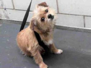 A777808 is an adoptable Cairn Terrier Dog in Dallas, TX.  ...
