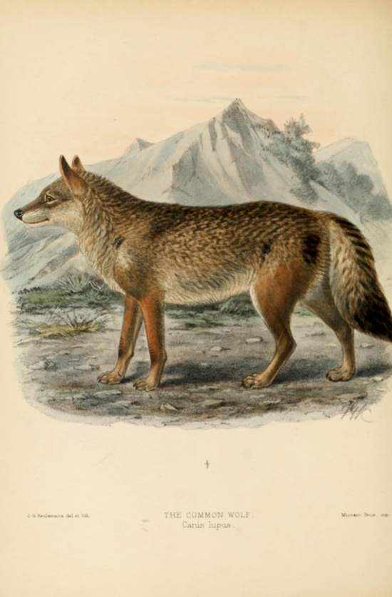 Wolf. Dogs, jackals, wolves, and foxes  London R.H. Porter 1890  Biodiversitylibrary. Biodivlibrary. BHL. Biodiversity Heritage Library