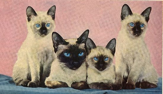 A heartwarmingly cute quartet of vintage Siamese kitties. So presh!!! ? #cats #kitties #kittens #pets #animals #cute #vintage #Siamese #blue_eyes
