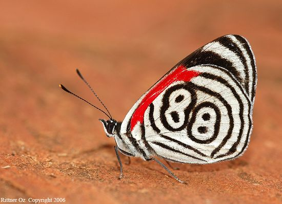 nymphalidae, photo by oz rittner, brazil