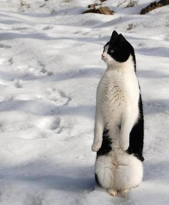 Penguin kitteh.