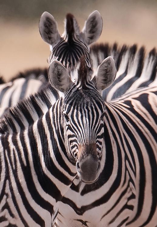 Zebras from Namibia