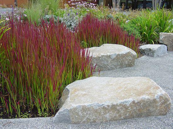 Japanese Blood Grass.