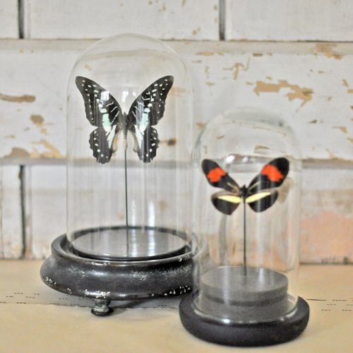 Entemology Real Butterfly Vintage Style Dome - Medium