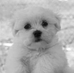 Tanya is an adoptable Maltese Dog in Fargo, ND. If you would like to provide this dog a loving home, please fill out a pre-adoption application . ... ...