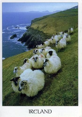 Sheep - Ireland (1) From: FlickR, please visit