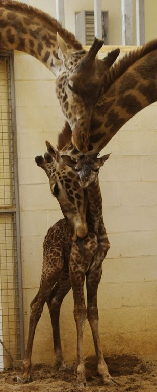 Giraffe love for its baby.