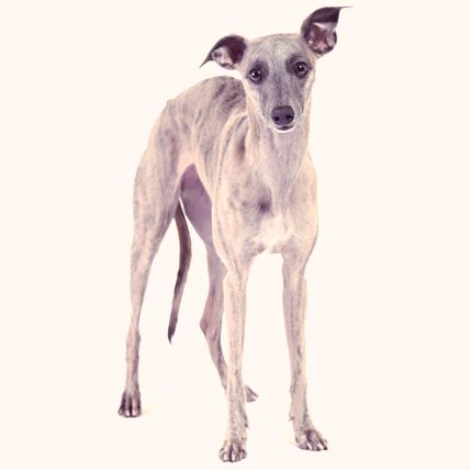 Whippet Dogs, A little bit Greyhound
