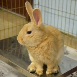 Linus is an #adoptable Bunny  Rabbit in #Menands, #NEWYORK.  ...