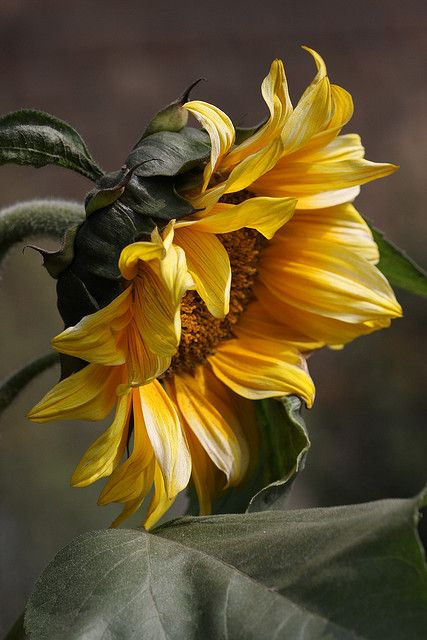 Sunflower. S)