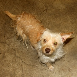 Sweetpea! is an adoptable Terrier Dog in Sacramento, CA. Sweetpea was just rescued from the shelter and needs a great home! She is among 150+ dogs who were taken from a home due to neglect. Sweetpea i...