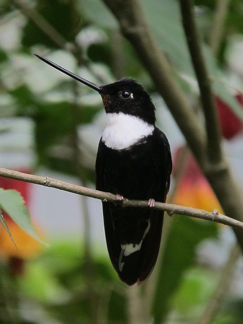 Collared Inca hummingbird