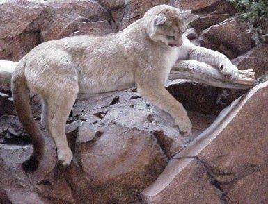 Wild Animals Photo: Puma