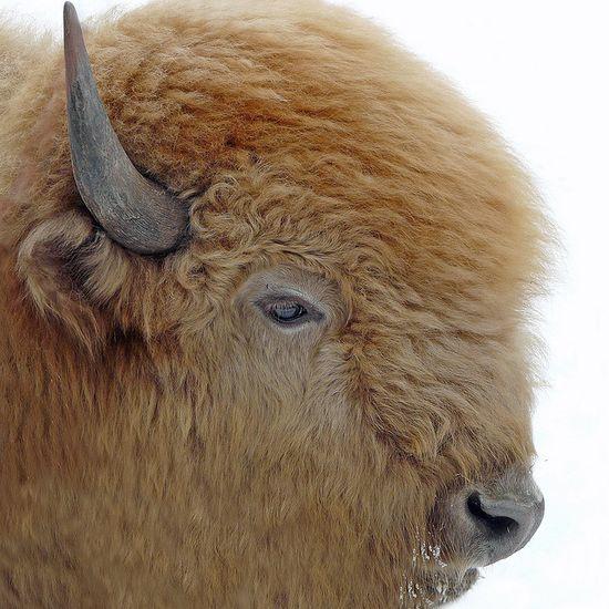 The Great White Bison #wild #animals
