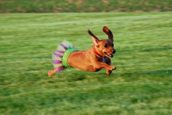 {doxie running in a tutu}